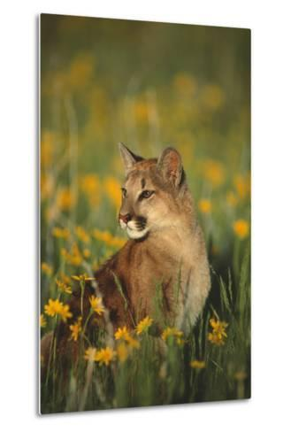 Mountain Lion Sitting in Wildflowers-DLILLC-Metal Print