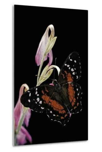 Anartia Amathea (Brown Peacock, Scarlet Peacock)-Paul Starosta-Metal Print