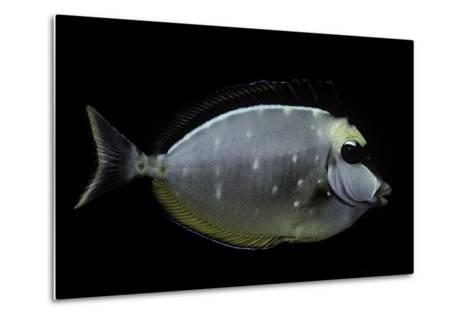 Naso Lituratus (Orangespine Unicornfish, Barcheek Unicornfish, Clown Tang)-Paul Starosta-Metal Print