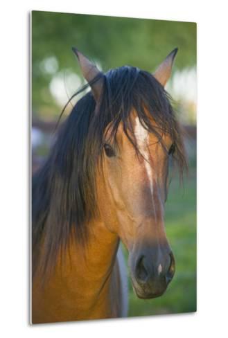 Peruvian Paso Horse-DLILLC-Metal Print