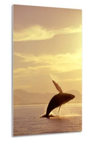 Humpback Whale Breaching in Inside Passage Se Ak Summer Backlit-Design Pics Inc-Metal Print