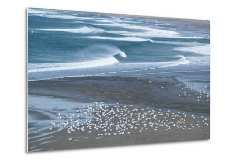 Gulls Rest on the Coastline of Stornetta Public Lands North of the Town of Point Arena-Michael Melford-Metal Print