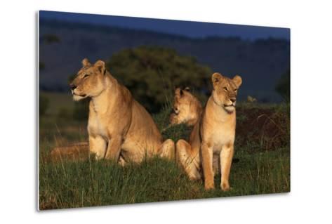 Lionesses in Grass-DLILLC-Metal Print