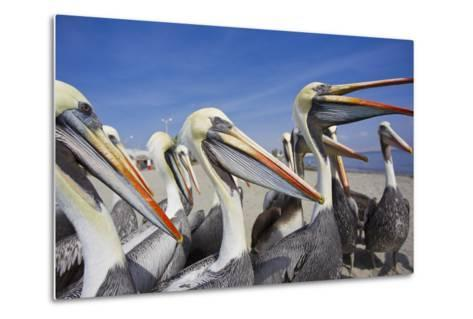 A Group of Peruvian Pelicans Waiting to Be Fed on a Beach-Mike Theiss-Metal Print