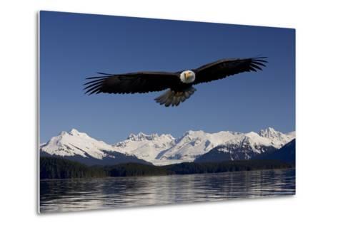 Bald Eagle in Flight Inside Passage Tongass National Forest Se Alaska Spring-Design Pics Inc-Metal Print