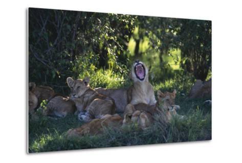Lion Cubs Dozing under Trees-DLILLC-Metal Print