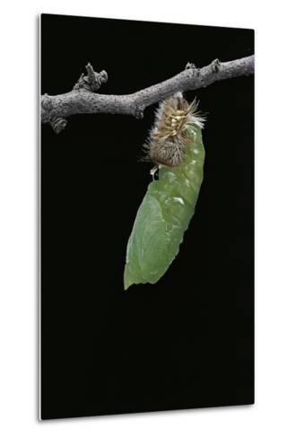 Morpho Peleides (Blue Morpho) - Caterpillar Pupating-Paul Starosta-Metal Print