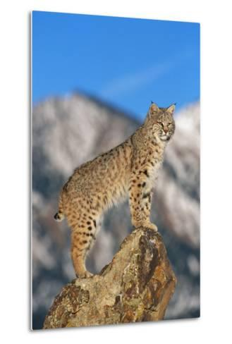 Bobcat Standing on Boulder-DLILLC-Metal Print
