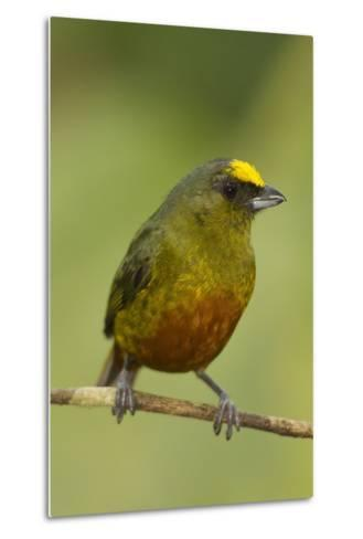 Olive-Backed Euphonia-Mary Ann McDonald-Metal Print