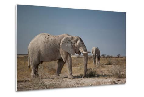 Two Bull Elephants in Etosha National Park, Namibia-Alex Saberi-Metal Print
