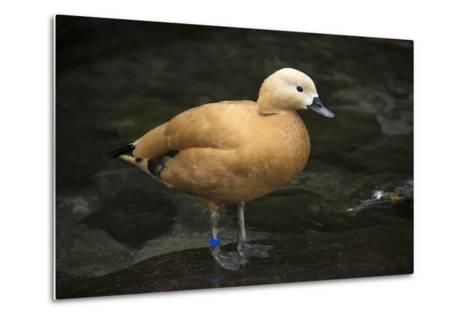 A Ruddy Shelduck, Tadorna Ferruginea, at the Taronga Zoo-Joel Sartore-Metal Print