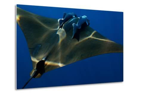 A Mobula Ray with Two Remora-Like Fish Swimming over the Gamelas Seamount-Luis Lamar-Metal Print
