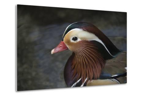 A Mandarin Duck, Aix Galericulata, at the Taronga Zoo-Joel Sartore-Metal Print