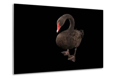 A Black Swan, Cygnus Atratus, at the Kansas City Zoo-Joel Sartore-Metal Print