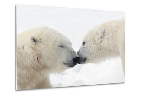 Two Polar Bears (Ursus Maritimus) Touching Noses or Kissing; Churchill, Manitoba, Canada-Design Pics Inc-Metal Print