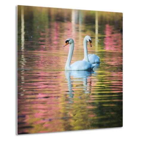 Two Swans Float on a Colorful Reflective Lake-Alex Saberi-Metal Print