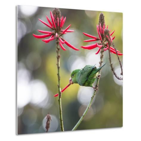 A Plain Parakeet, Brotogeris Tirica, Eats Petals of Coral Tree Flowers in Ibirapuera Park-Alex Saberi-Metal Print