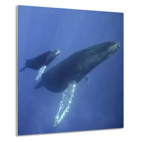 Humpback Mother and Calf-DLILLC-Metal Print