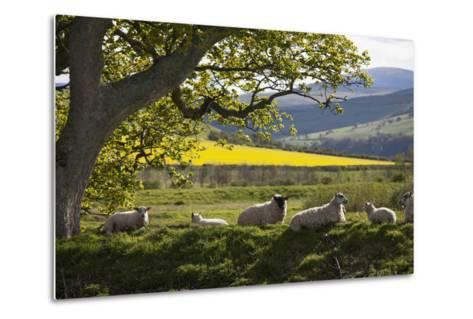 Sheep Laying on the Grass under a Tree; Northumberland England-Design Pics Inc-Metal Print