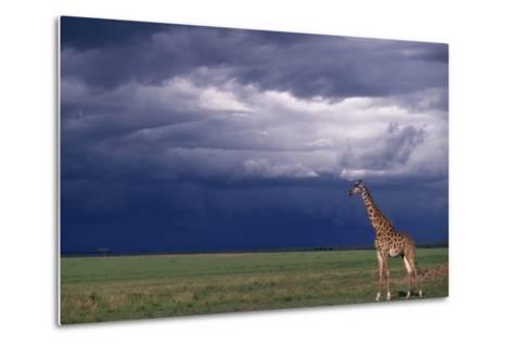 Masai Giraffe in Savanna-DLILLC-Metal Print