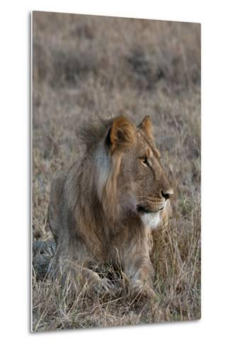 Portrait of a Male Lion, Panthera Leo, at Rest-Sergio Pitamitz-Metal Print