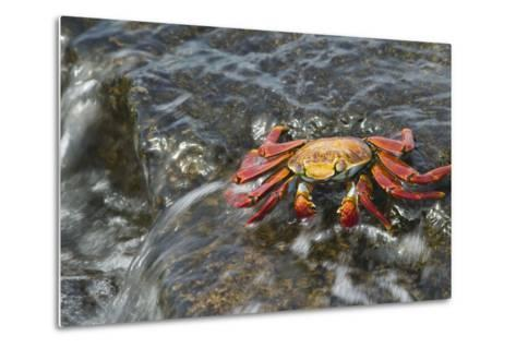 Sally Lightfoot Crab in Flowing Water-DLILLC-Metal Print