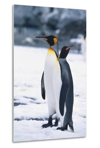 King Penguins Looking in Different Directions-DLILLC-Metal Print