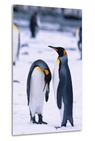 King Penguins-DLILLC-Metal Print