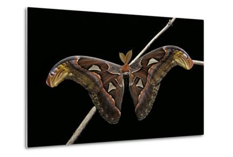 Attacus Atlas (Atlas Moth) - Male-Paul Starosta-Metal Print