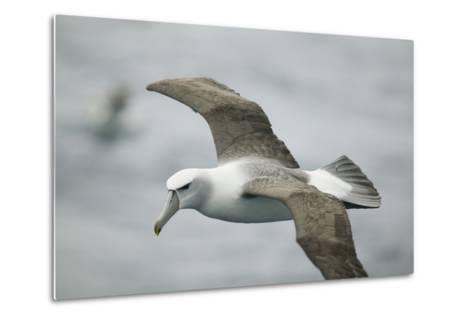 White-Capped, or Shy Albatross, in Flight-DLILLC-Metal Print