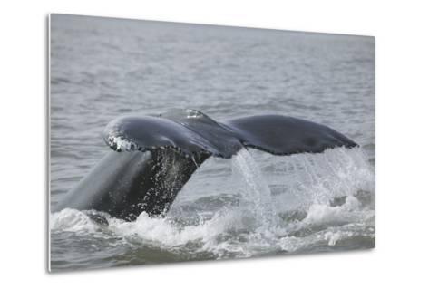Powerful Tail of a Humpback Whale-DLILLC-Metal Print