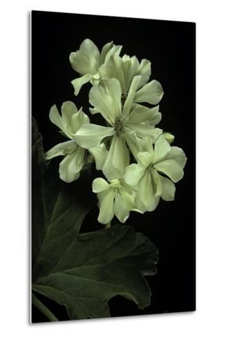Pelargonium X Hortorum 'Kees' (Common Geranium, Garden Geranium, Zonal Geranium)-Paul Starosta-Metal Print