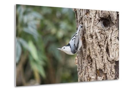 White-Breasted Nuthatch-Gary Carter-Metal Print