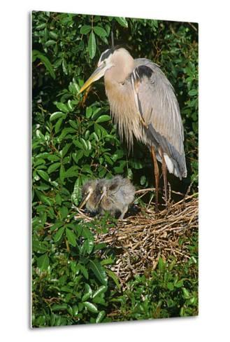 Florida, Venice, Great Blue Heron at Nest with Two Baby Chicks in Nest-Bernard Friel-Metal Print