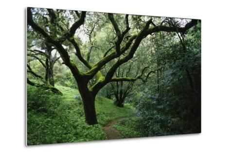 Mossy Trees on Devil's Gulch Trail in Samuel P. Taylor State Park-Rebecca Hale-Metal Print