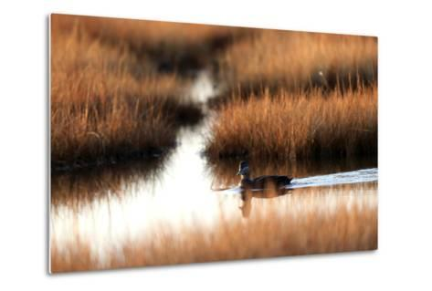 An American Black Duck, Anas Rubripes, Swims Through a Marsh at Sunset-Robbie George-Metal Print