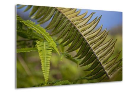 Hawaii, Maui, Waihee, a Closeup of Green Fern with Seeds-Design Pics Inc-Metal Print