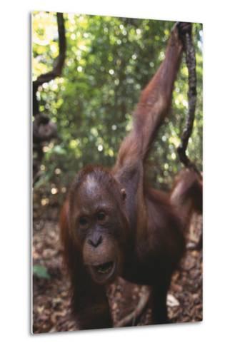 Orangutan in Forest-DLILLC-Metal Print