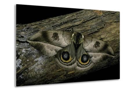 Automeris Harrisorum (Moth)-Paul Starosta-Metal Print