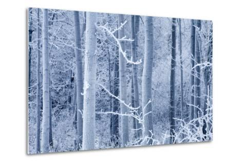 Frost Coated Birch Forest Near Knik River Mat-Su Valley Southcentral Alaska Winter-Design Pics Inc-Metal Print