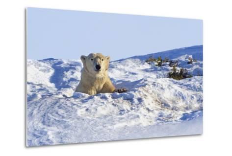 Polar Bear (Ursus Maritimus) in Wapusk National Park; Churchill, Manitoba, Canada-Design Pics Inc-Metal Print