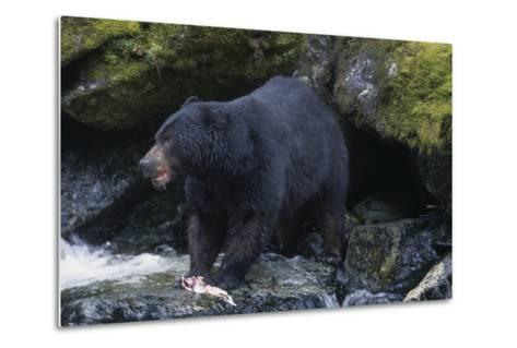 Black Bear Eating Fish in Stream-DLILLC-Metal Print