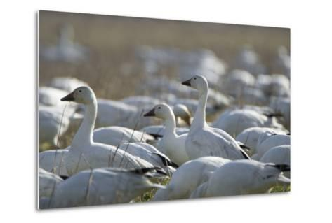 A Flock of Snow Geese, Chen Caerulescens, Feeding and Resting in a Farmer's Field-Paul Colangelo-Metal Print