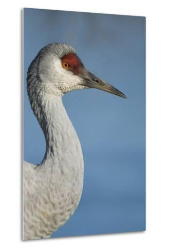 Close Up Portrait of a Sandhill Crane, Grus Canadensis-Paul Colangelo-Metal Print