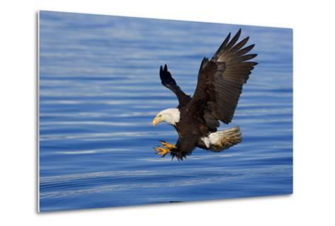 Bald Eagle Preparing to Grab Fish Out of Water Inside Passage Alaska Southeast Spring-Design Pics Inc-Metal Print