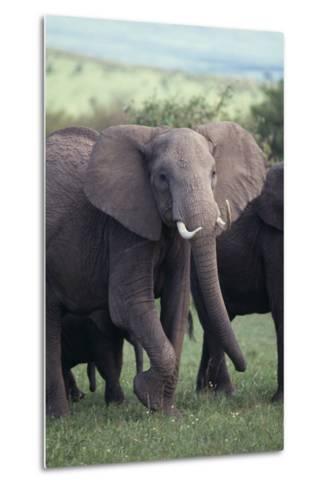 Elephant-DLILLC-Metal Print