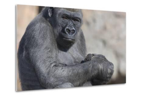 Gorilla with Baby-DLILLC-Metal Print