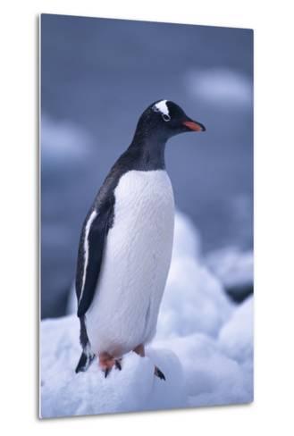 Gentoo Penguin on Ice-DLILLC-Metal Print