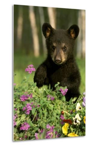 Captive Black Bear Cub Playing in Flowers Minnesota-Design Pics Inc-Metal Print