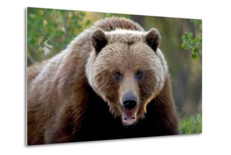 Closeup of Brown Bear Yukon Territory Canada Spring-Design Pics Inc-Metal Print